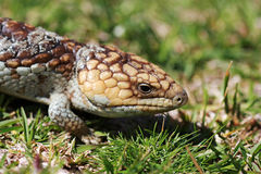 Bobtail Lizard Royalty Free Stock Image