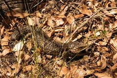 Bobtail lizard Royalty Free Stock Photo