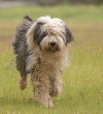 Bobtail/Oude Engelse Herder die in de weide lopen stock foto