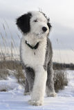 Bobtail puppy in the open field. Puppy of Old English Sheepdog in snowy field Royalty Free Stock Images