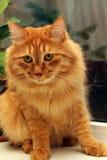 Bobtail rote Katze auf Fenster Lizenzfreie Stockfotos