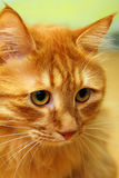 Bobtail rotes Katzeportrait Lizenzfreie Stockfotografie