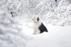 Bobtail sititng in snow forest Royalty Free Stock Image