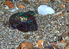 Bobtail Squid on gravel sea floor at night Stock Photos