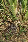 Bobwhite Royalty Free Stock Images