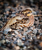 Bobwhite bird Stock Image