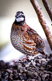 Bobwhite bird Royalty Free Stock Photo