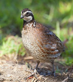 Bobwhite Stock Photography