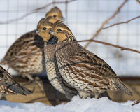 Bobwhite Qauil Royalty Free Stock Images