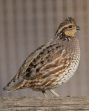 Bobwhite Qauil Royalty Free Stock Photography