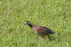 Bobwhite quail Stock Photography