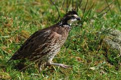 Bobwhite quail. Northern Bobwhite, Virginia Quail or Bobwhite Quail, Colinus virginianus, in the wild, Westland, New Zealand Royalty Free Stock Image