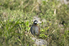 Bobwhite Quail. Rushing to get into the brush Stock Photo