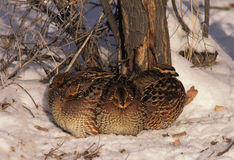 Bobwhite Quail Covey. A covey of bobwhite qual on a cold winter day huddled together for warmth Royalty Free Stock Photography