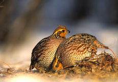 Bobwhite Quail Females Stock Images
