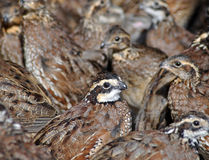 Bobwhite quail Royalty Free Stock Photo