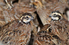 Bobwhite quail Royalty Free Stock Photos