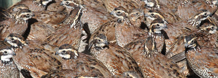 Bobwhite quail Royalty Free Stock Images