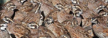 Bobwhite quail royalty free stock images