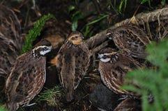 Bobwhite quail Stock Images