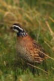 Bobwhite Quail Male Royalty Free Stock Images