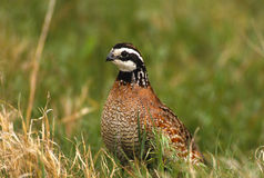 Free Bobwhite Quail Male Stock Images - 13106674