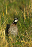 Bobwhite Quail Male Stock Photo
