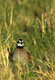 Bobwhite Quail Male Stock Photography