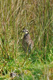 Bobwhite quail Stock Image