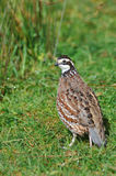 Bobwhite quail Stock Photo