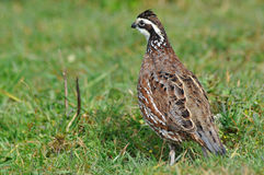 Bobwhite quail Stock Photos