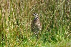 Bobwhite quail Royalty Free Stock Image