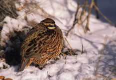 Bobwhite Quail Male in Snow Royalty Free Stock Photo