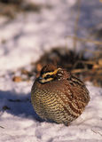Bobwhite Quail Male in Snow Stock Photo
