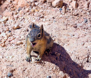 A boca aberta à terra dourado-envolvida do esquilo (lateralis de Callospermophilus) Imagens de Stock