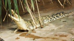 Boca abierta del cocodrilo del agua salada fotos de archivo libres de regalías