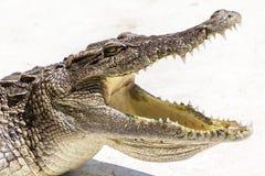 Boca abierta del cocodrilo de la fauna Fotos de archivo