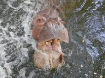 boca abierta del hipopótamo del ‡ del ¹ del à Fotografía de archivo