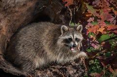 Boca abierta del lotor del Procyon del mapache en registro Foto de archivo libre de regalías