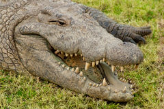 Boca de Aligator abierta Foto de archivo