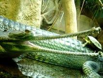 Boca de Gavials Foto de archivo libre de regalías