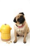 Boca de incêndio do Pug & de incêndio Fotografia de Stock Royalty Free