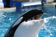 Boca de la ballena de la orca Imágenes de archivo libres de regalías