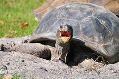Boca de la tortuga gigante abierta Fotos de archivo libres de regalías