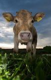 Boca de la vaca imagenes de archivo