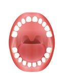 Boca de los niños el echar los dientes de los dientes de bebé Fotografía de archivo