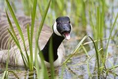 Boca de silvo da natação do ganso de Canadá aberta fotografia de stock
