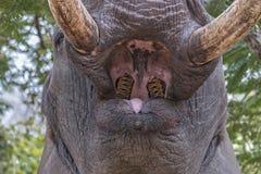 Boca del elefante abierta de par en par Fotografía de archivo libre de regalías