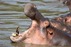 Boca del hipopótamo abierta de par en par en África imágenes de archivo libres de regalías