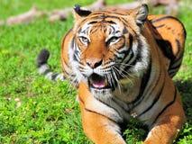 Boca del tigre de Bengala abierta Imagenes de archivo